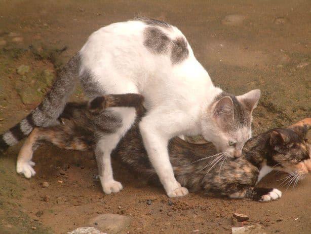 accouplement de chats